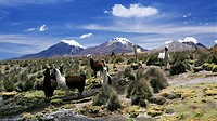 Llamas grazing in Sajama National Park with The Twins, the volcanoes of Parinacota and Pomerata in the background, Sajama, Bolivia, South America