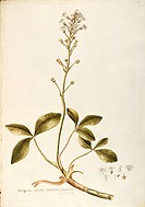 Herbal, 18th-19th century.Iconographia Taurinensis.Volume I, Plate 2 by Francesco Peyrolery: Menyanthaceae, Bog-bean or Buckbean (Menyanthes trifoliat...