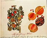 Pomegranate tree Punica Granatum and fruit from Southern America, drawing, 1600_1625