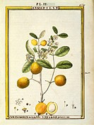 Herbal, 18th century. Florindie ou Historie physico-economique des vegetaux de la Torride, 1789. Plate: Chrysomelis Armadilla. Watercolor by Delahaye....