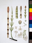 Biology, Botany, Plants _ Varieties of Equisetum, illustration
