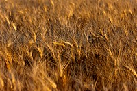 field of wheat ears at sunset