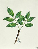 Botany - Adoxaceae - Leaves of Common elderberry or Black elder or Bourtree or Pipe tree (Sambucus nigra). Illustration.