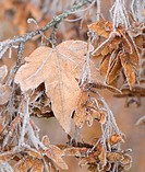 Frosty Leaf on a Early Winter Morning