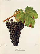 Pierre Viala (1859-1936), Victor Vermorel (1848-1927), Traite General de Viticulture. Ampelographie, 1901-1910. Tome IV, plate: Balsamina grape. Illus...