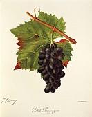 Pierre Viala (1859-1936), Victor Vermorel (1848-1927), Traite General de Viticulture. Ampelographie, 1901-1910. Tome IV, plate: Petit Paugayen grape. ...