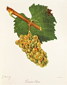 Gouais Blanc grape, illustration by J. Troncy