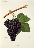 Pierre Viala (1859-1936), Victor Vermorel (1848-1927), Traite General de Viticulture. Ampelographie, 1901-1910. Tome VI, plate: Hibou grape. Illustrat...