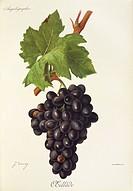 Pierre Viala (1859-1936), Victor Vermorel (1848-1927), Traite General de Viticulture. Ampelographie, 1901-1910. Tome VI, plate: Oeillade grape. Illust...