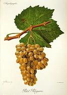 Pierre Viala (1859-1936), Victor Vermorel (1848-1927), Traite General de Viticulture. Ampelographie, 1901-1910. Tome VI, plate: Petit Pelegarie grape....