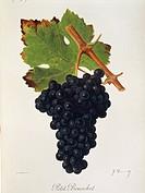 Pierre Viala (1859-1936), Victor Vermorel (1848-1927), Traite General de Viticulture. Ampelographie, 1901-1910. Tome VI, plate: Petit Bouschet grape. ...
