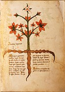 Manuscript, Italy, 15th century.Herbal from Trento.Plate: Antolas lupanas.Herb to cure licanthropy.Manuscript 1591, folio 3, recto.Herbal with dedicat...