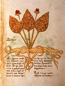 Manuscript, Italy, 15th century. Herbal from Trento. Plate: Herba Teoderis. Herb for liver disorders. Manuscript 1591, folio 19, recto. Herbal with de...