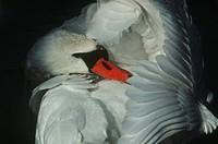 Zoology - Birds - Anseriformes - Mute swan (Cygnus olor).