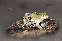 Zoology - Amphibians - Edible Frog (Pelophylax kl. esculentus)