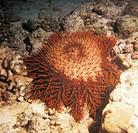 Zoology - Echinoderms - Sea urchin (Acanthaster echinites)