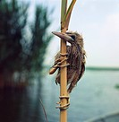 Zoology - Birds - Ciconiiformes - Little Bittern (Ixobrychus minutus) chick sitting on stem of plant