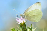 Macro of Pieris butterfly feeding on flower