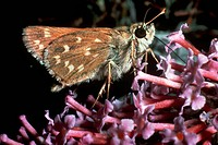 Zoology - Insects - Lepidopters - Butterfly - Silver-spotted skipper (Hesperia comma).