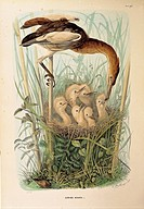 Illustration from Eugenio Bettonis Natural History of Birds that Nest in Lombardy representing Little Bittern Ixobrychus minutus, by Oscar Dressler, 1...