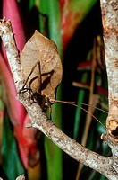 Insect from Tettigonidae family on branch