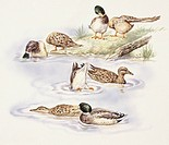 Zoology - Birds - Anseriformes - Mallards (Anas platyrhyncos) swimming, illustration