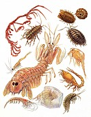 Various Crustaceans Artropodi, illustration