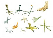 Zoology - Birds' claws, illustration