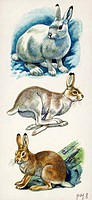 Mountain Hare (Lepus timidus). Coat color mutation depending on seasons: white (winter), gray (switching between white and brown) and brown (summer), ...
