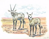 Arabian or White Oryx (Oryx leucoryx) with young, illustration.