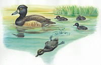 Tufted Duck Aythya fuligula with young in water, illustration