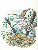 Young European Honey Buzzards (Pernis apivorus) in the nest, illustration.