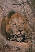 Kenya - Tsavo, Tsavo National Park. Leone