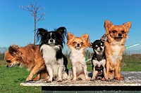 portrait of a cute purebred five chihuahuas outdoors