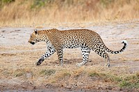 Male leopard Panthera pardus walking, Sabie_Sand nature reserve, South Africa