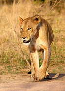 Lioness, Kruger National Park, South Africa.