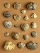Fossils - brachiopods.