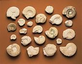 Fossils - Protostomia - Mollusca - Cephalopoda - Ammonoidea - Jurassic.