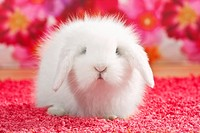 Young teddy rabbit, dwarf lop
