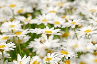 Marguerites or Ox_eye Daisies Leucanthemum, meadow full of flowers