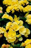 Close up of yellow bengonia