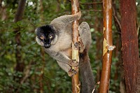 Common Brown Lemur Eulemur fulvus in tree, Andasibe, Madagascar