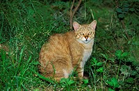 European Wildcat, felis silvestris, Adult sitting on Grass