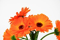orange flowers isolated