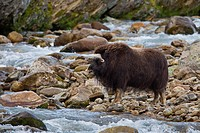 Muskox Ovibos moschatus female crossing river on the tundra in autumn, Dovrefjell–Sunndalsfjella National Park, Norway