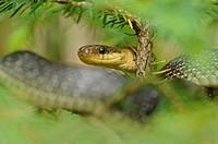Aesculapian Snake (Zamenis longissimus), Triglav National Park, Slovenia, Europe