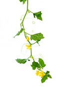 A cucumber vine isolated on white