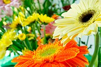 A colored gerberas flowers background