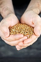 Male cupped hands holding whole wheat grain kernels