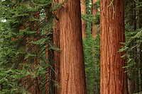 Giant redwood trees in Sequoia National Park, CA